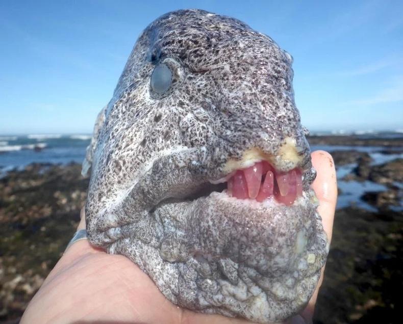 Чонон могой загас (Anarrhichthys ocellatus) нь далайн улаан залхагийг идсэнээр шүд нь ийм өнгөтэй болдог