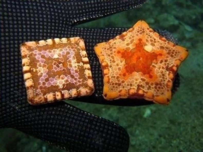 Дөрвөлжин биетэй далайн од