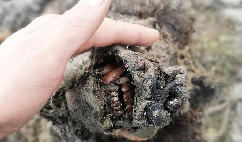 Балар эртний аварга баавгайн бараг хэвээрээ хадгалагдсан үлдэгдэл олджээ