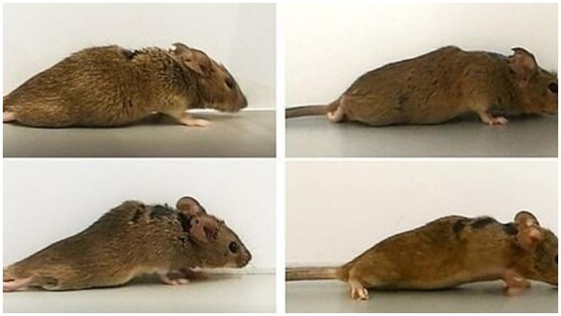 Германы эрдэмтэд саажилттай болсон хулганыг дахин алхуулж чаджээ
