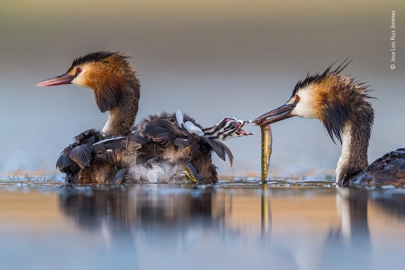 Ангаахайгаа хооллож буй эх шувуу, Хосе Лүи Рүиз