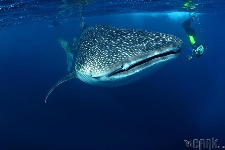 Халиман аварга загас