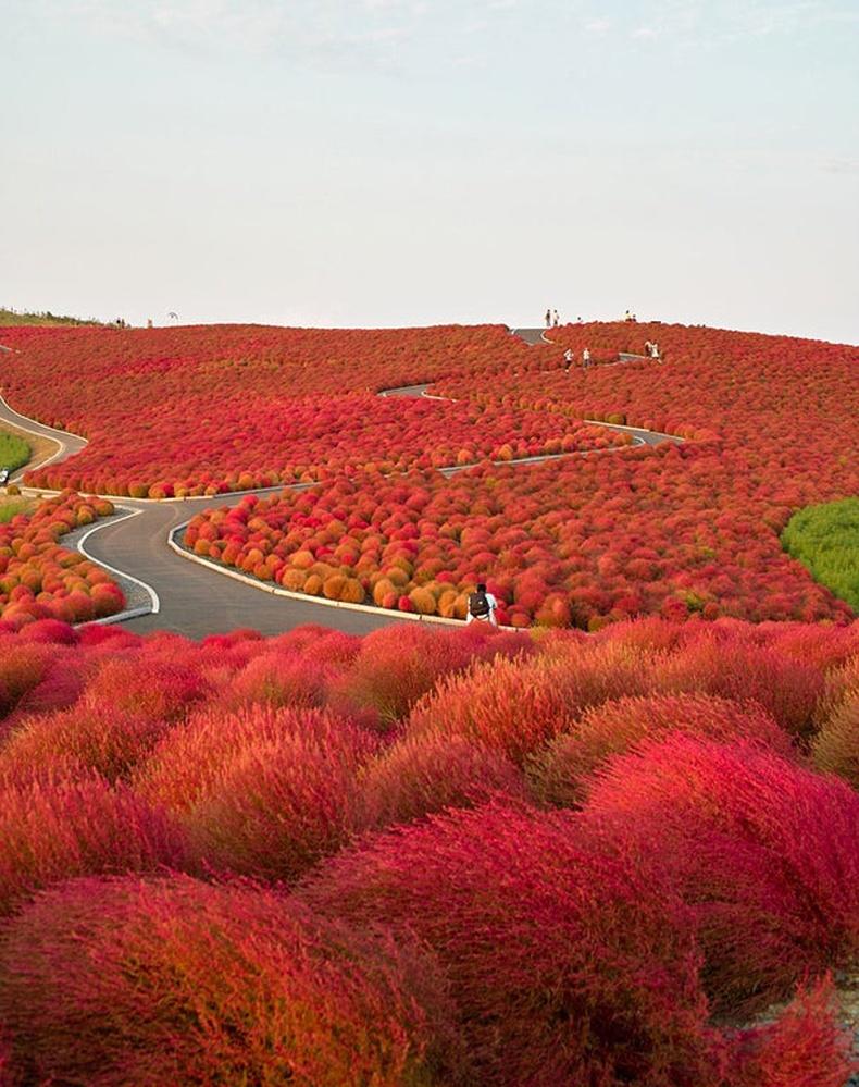 Японы Хитачи цэцэрлэгт хүрээлэн