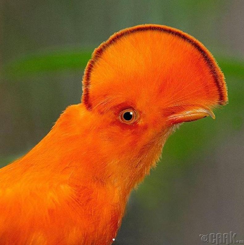 Перугийн бэлэг тэмдэг, Андын тахиа