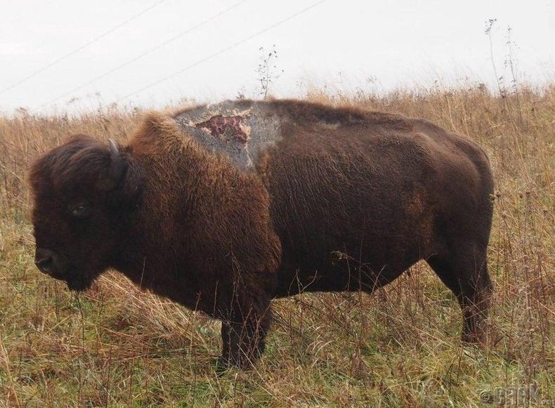 Аянганд цохиулсан бизон