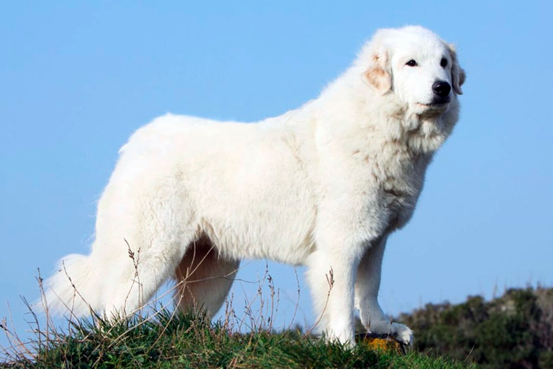 Пиренейн уулын нохой
