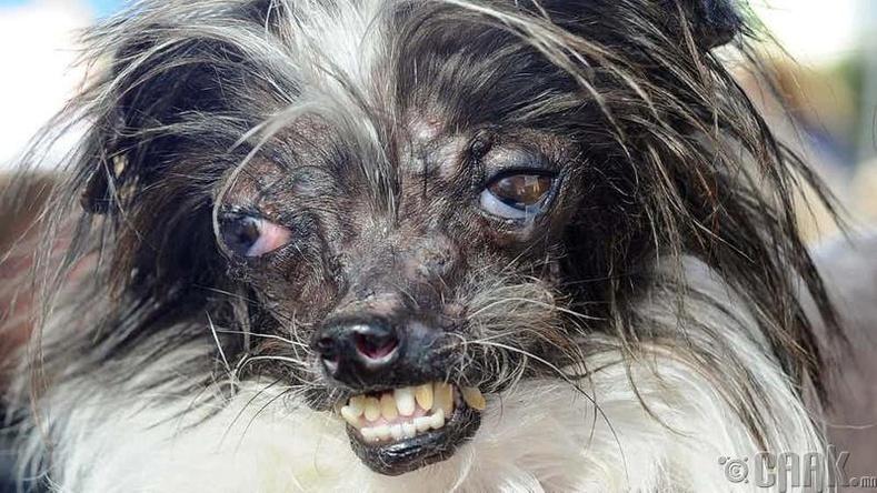 Дэлхийн хамгийн царай муутай нохой