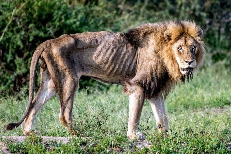 Өөрийн гэсэн сүрэгтэй болж чадаагүй арслангуудад юу тохиолддог вэ?