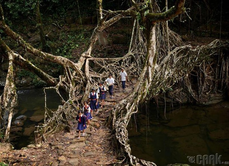 Энэтхэгт нэгэн тосгонд сурагчид модны үндсээр хийсэн гүүрээр явж сургуульдаа очдог