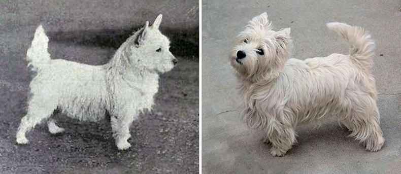 Вайт Тэрьер (West Highland White Terrier)