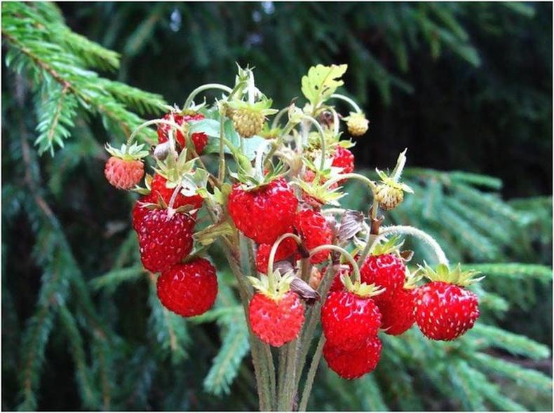 Монголд ургадаг хамгийн амттай жимснүүд