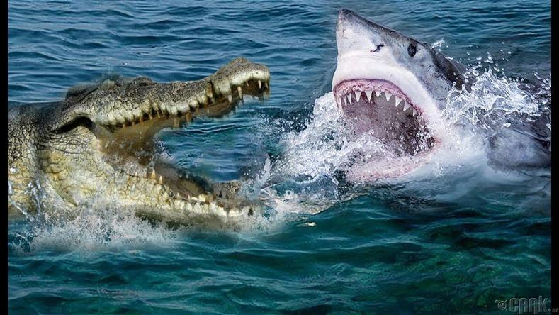 Цагаан аварга загас - Давстай усны матар