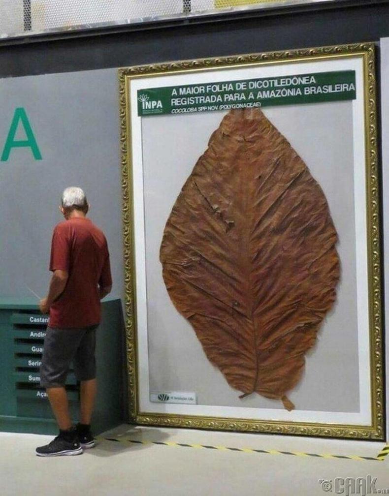 Амазоноос олдсон дэлхийн хамгийн том навч