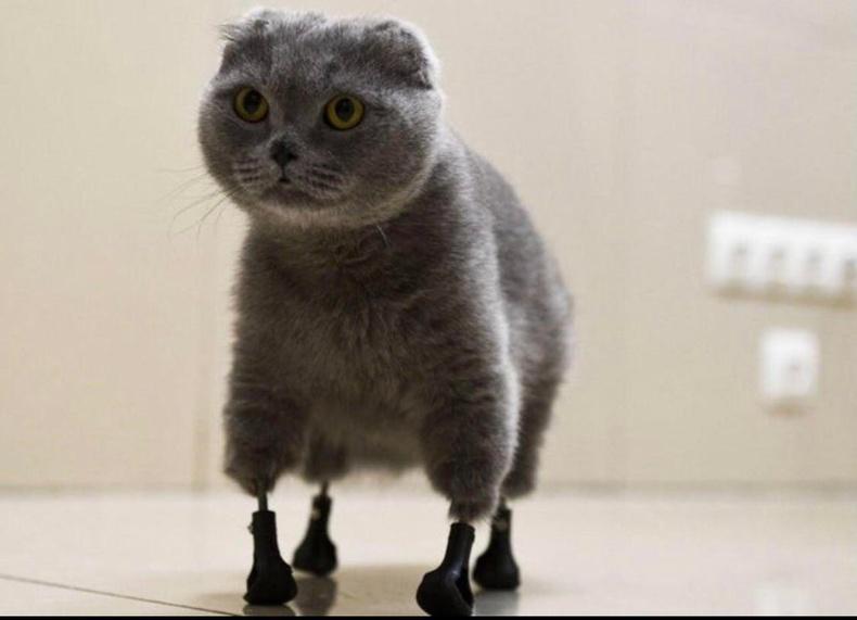 Хиймэл хөлтэй муур