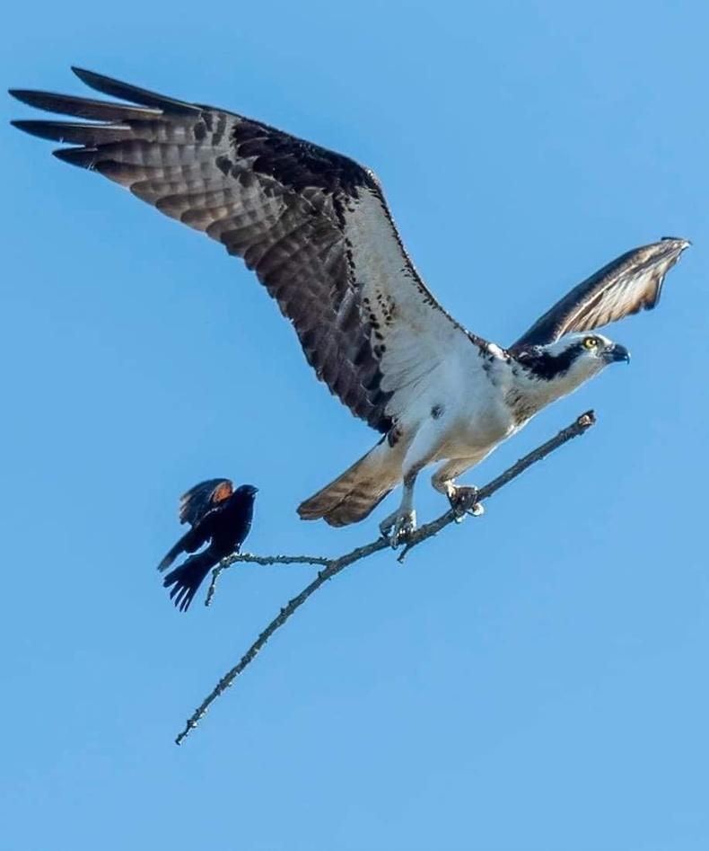 """Загасч явлаг шувуунд """"дайгдан"""" зорчиж буй хөөндэй шувуу"""