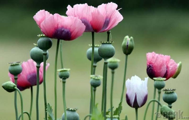 Эрт цагт мэдээ алдуулагчийг хар тамхины төрлийн цэцгээр орлуулж байв