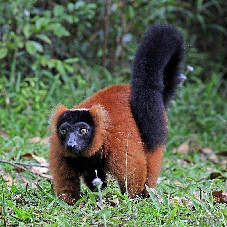 Зөвхөн Мадагаскарт байдаг лемур сармагчин