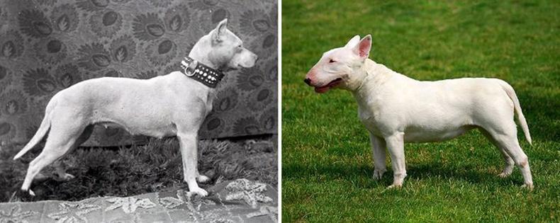 Буль Тэрьер (Bull Terrier)