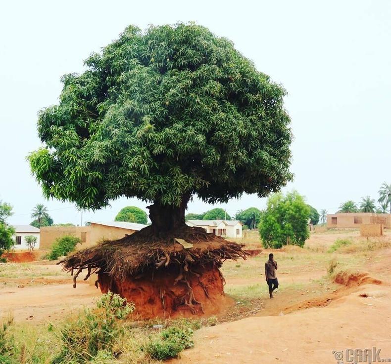 Хөрсний элэгдэл ч энэ модыг дийлж чадахгүй