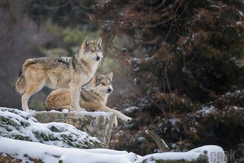 Саарал чоно