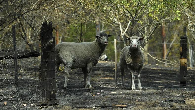 Эсэн мэнд үлдсэн хонинууд, Сарсфилд