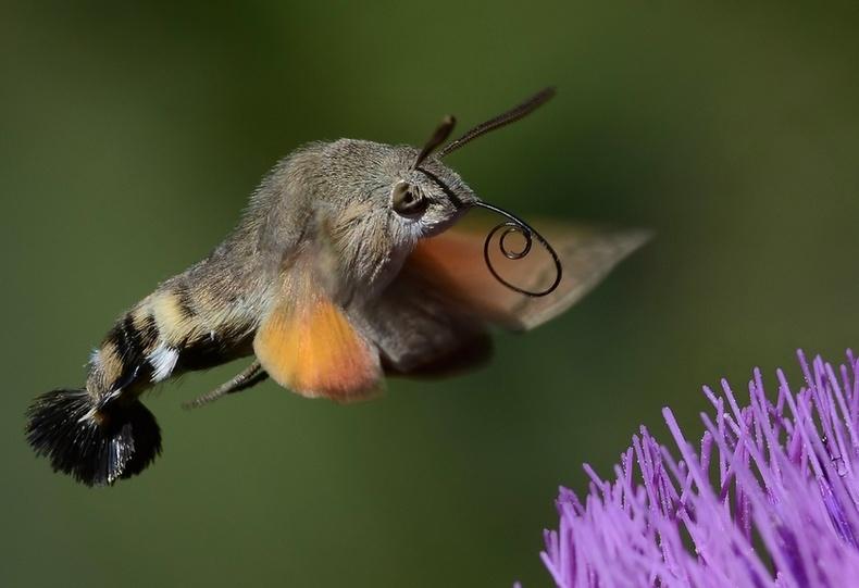 Шонхор эрвээхэй (Sphingidae)