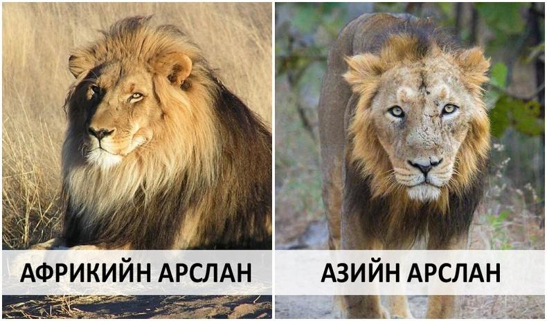 Ази тивийн уугуул арслангийн харамсалтай хувь заяа