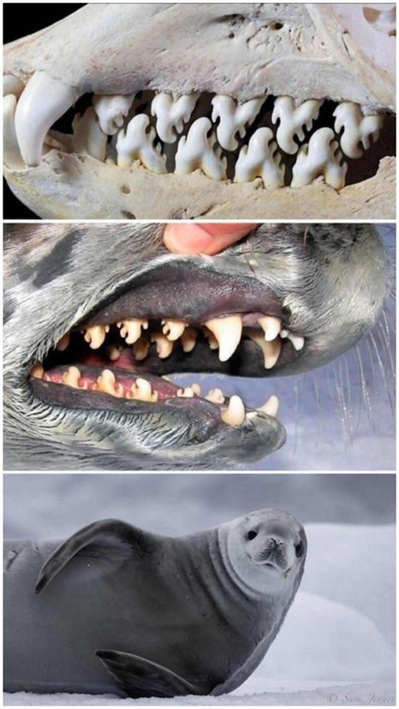 Далайн хавын шүднүүд нь сам хорхойг бөөнөөр нь идэхэд зориулагдсан шүүлтүүр хэлбэртэй байдаг