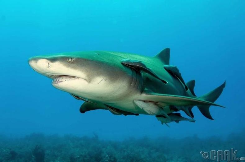 Аварга загасны үр төл
