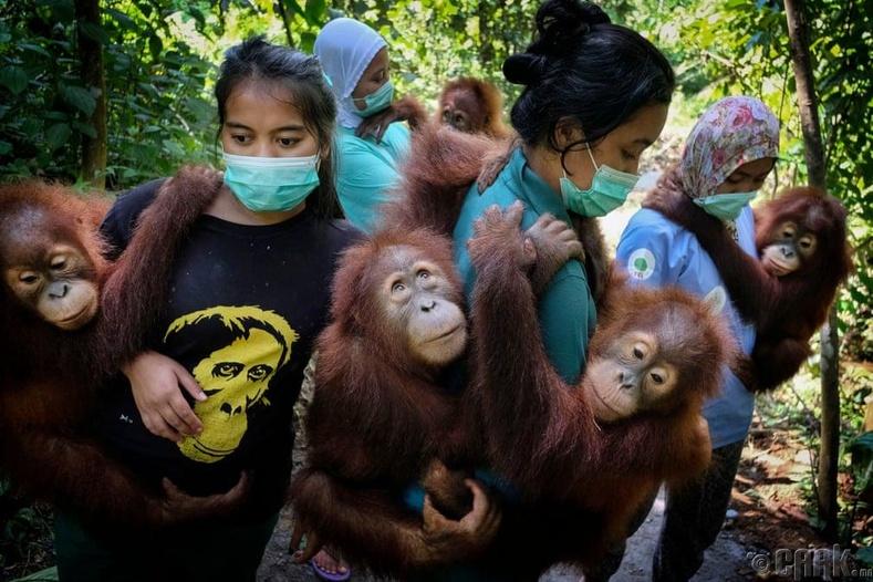 """""""Байгаль"""" төрлийн 1-р байр -""""Орангутан аврах ажиллагаа"""""""