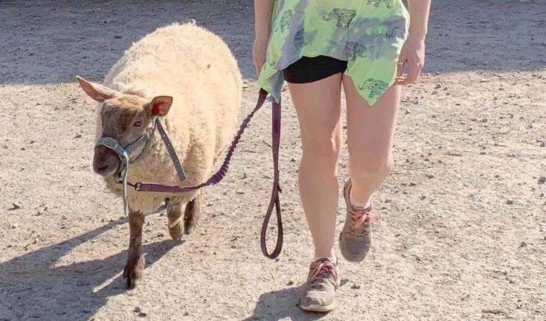 Өөрийгөө нохой гэж боддог хонины хөгжилтэй түүх