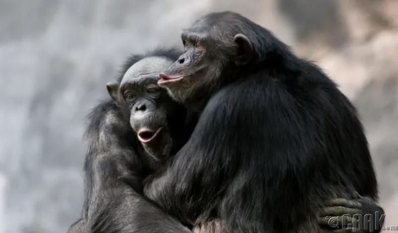 Шимпанзе бичнүүд дал модны шүүсийг исгэж, 3 градусын спиртний агууламжтай болгож байгаад уудаг
