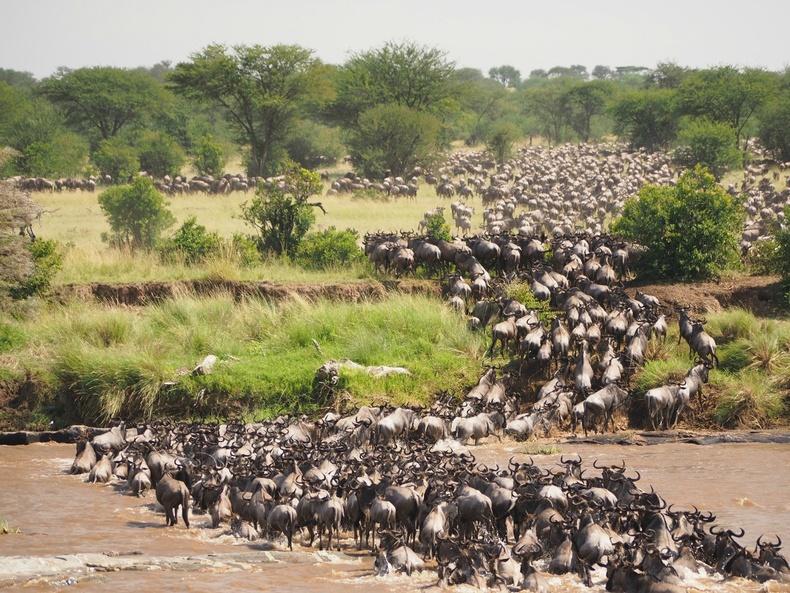 Гну гөрөөсний их нүүдэл - Танзани