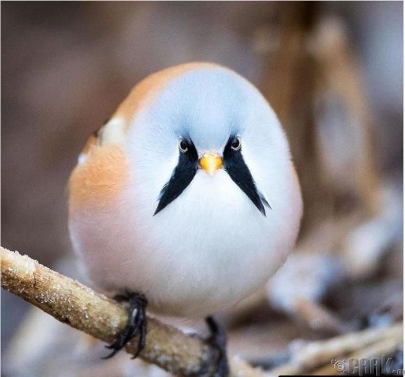 Сахалт хөхбух шувуу