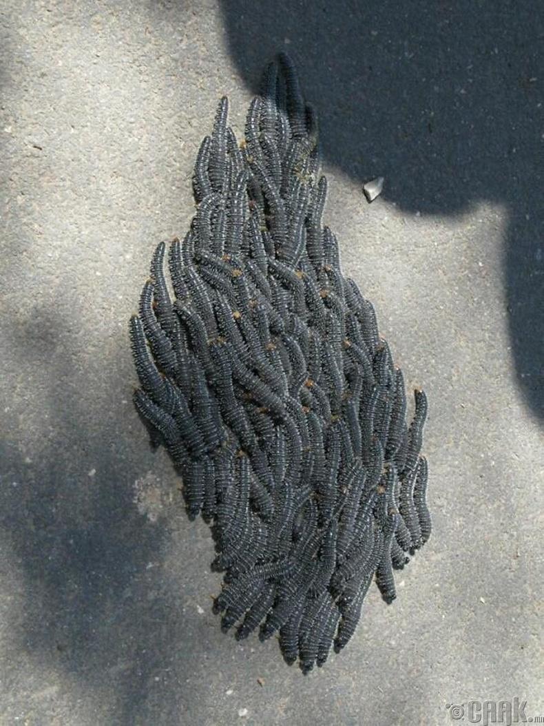 Нүүдэллэж буй авгалдайнууд