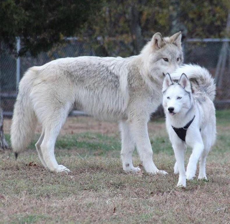 Чоно болон хаски нохойны биеийн ялгаа