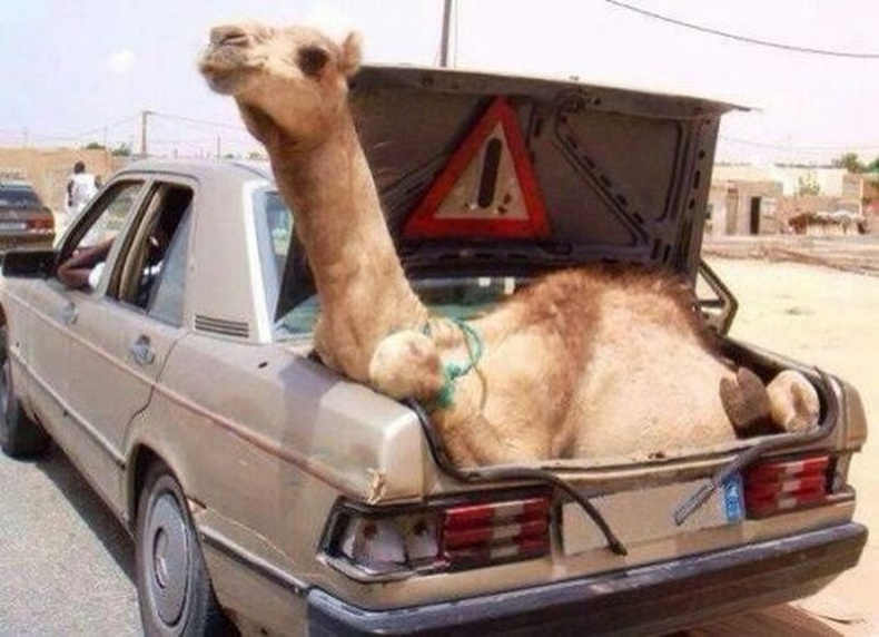 Тэмээг тээшиндээ багтаажээ