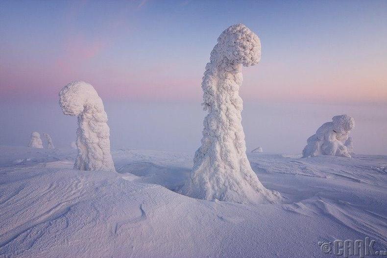 Хойд туйлын бүсэд цасанд дарагдсан модод