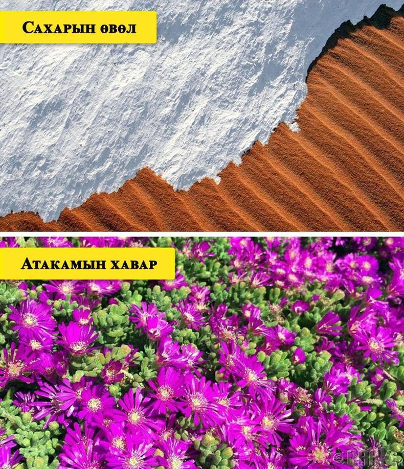 Өвөл нь цас орж, хавар нь цэцэгсээр хучигддаг цөл
