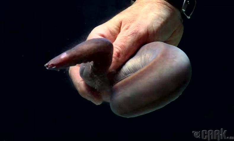 Нялцгай бодисоор дайснаа буулгаж авдаг загас