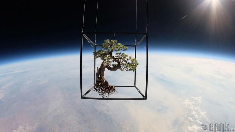 Сансарт Бонсай мод илгээсэн