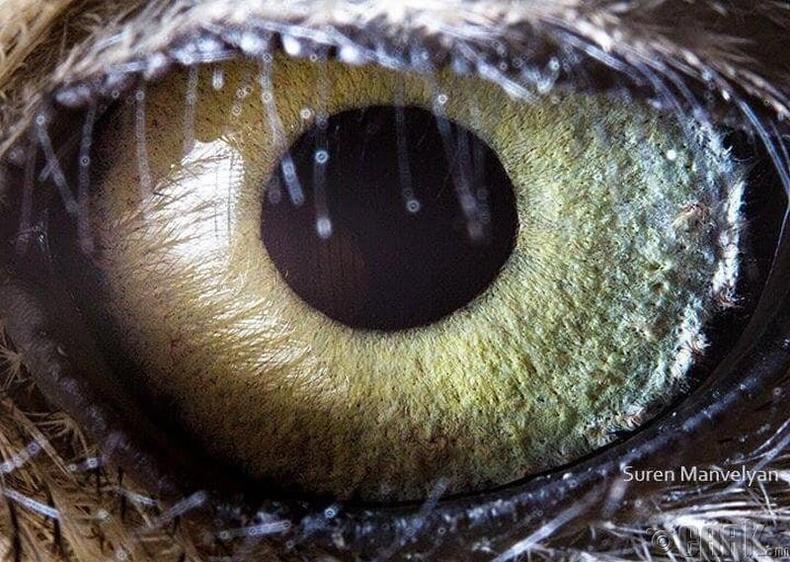 Шар шувууны онцгой нүд