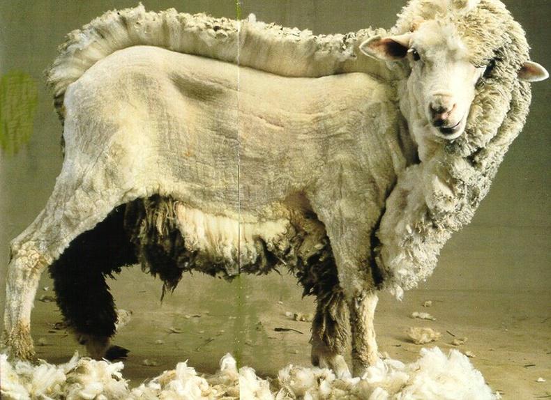 Дутуу хяргасан хонь