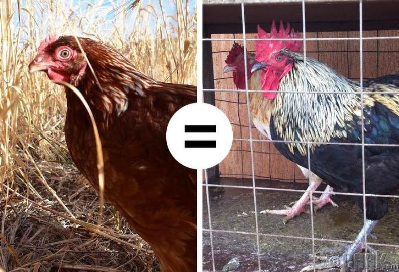 Фермерийн тахиа илүү өвчлөмтгий байдаг