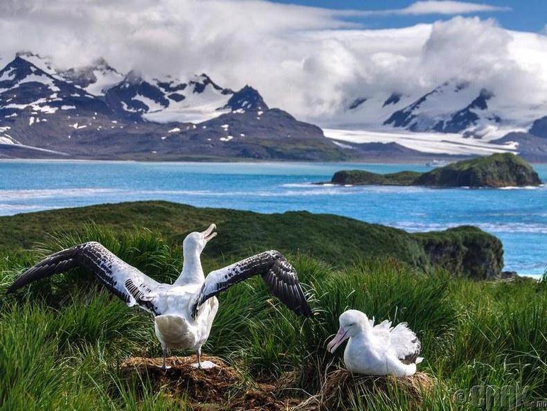 Алслагдсан Прион арал дээрх Альбатрос шувуу