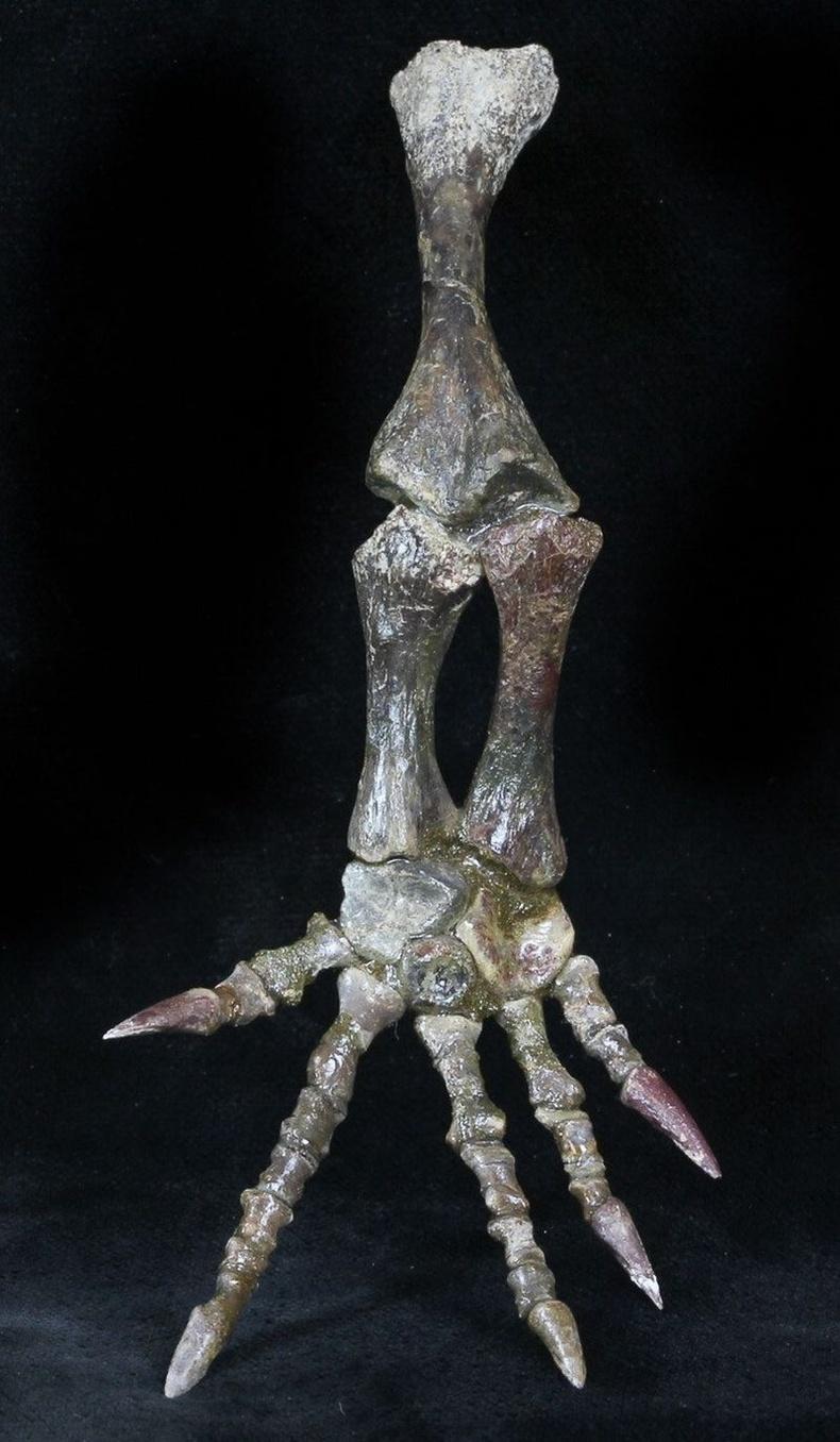 Пермийн галавын хоёр нутагтан амьтан болох Тримерорхачисын чулуужсан хөл