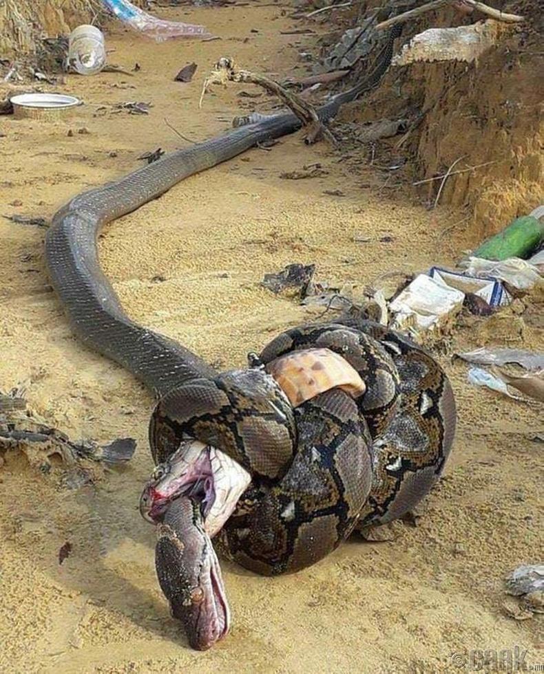 Хаан кобра, питон хоёрын ширүүн тулаан