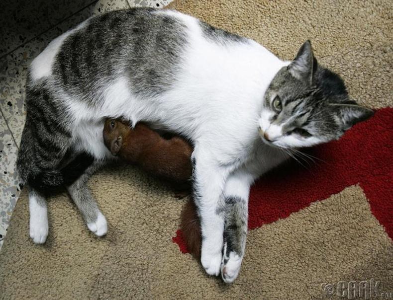 Тита муур ба хэрэмний зулзага