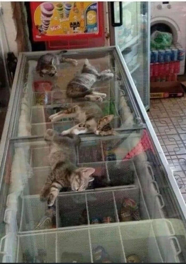 Гадаа хэт халуун байгаа учир дэлгүүрийн худалдагч гудамжны муурнуудыг дотор оруултал: