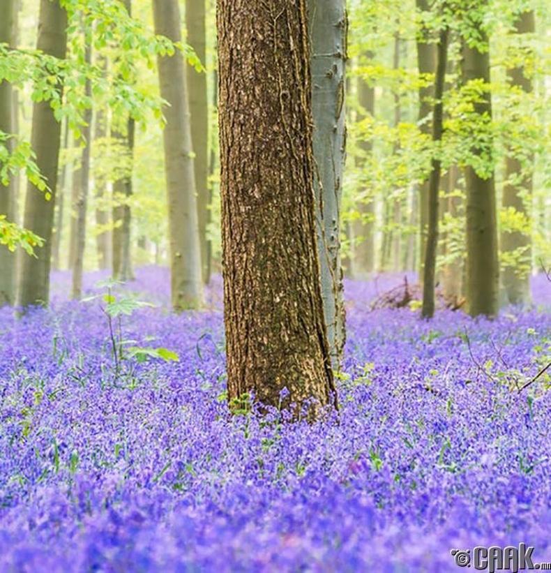 Жилд нэг удаа сая сая хонхон цэцэг ургадаг Бельгийн үзэсгэлэнт байгаль